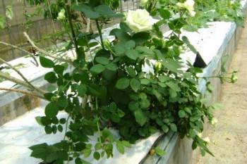 Аэропоника для роз и винограда